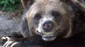 Медведь после посещения ортодонта