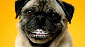 Собака после посещения ортодонта
