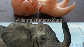 Зубной слоник