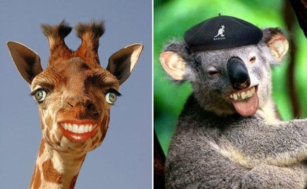 Жираф и коала