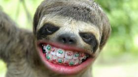 Ленивец после посещения ортодонта