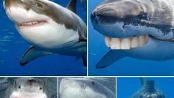 Акулы сходили к стоматологу