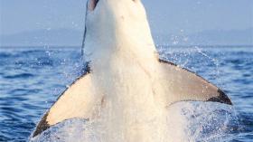 Летающий зуб акулы