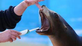 Морской котик на приеме у гигиениста стоматологического