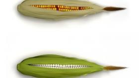 Отбеливание кукурузы