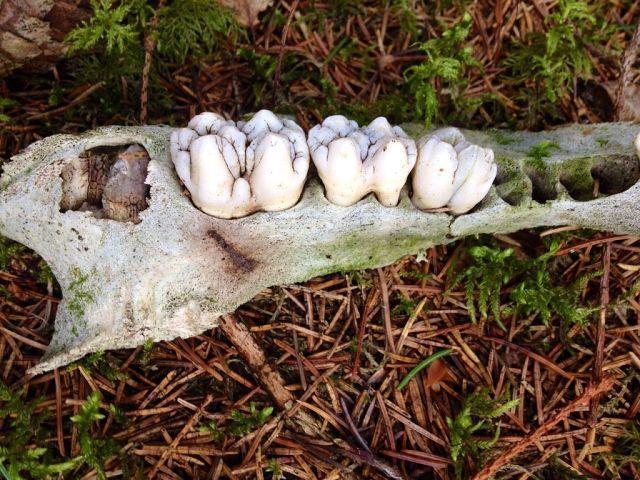 Зубные грибы
