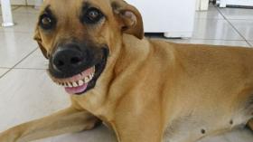 Собака после протезирования