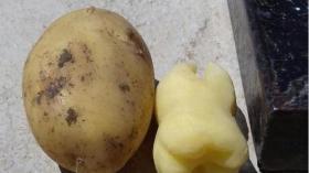 Картофельный зуб