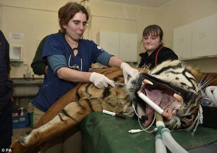 Тигру из британского зоопарка провели операцию по восстановлению клыка