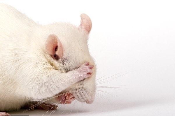 Исследуют новый способ обезболивания с помощью активации группы нейронов в головном мозге мышей