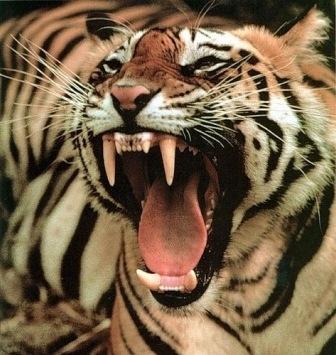 Зубы тигра