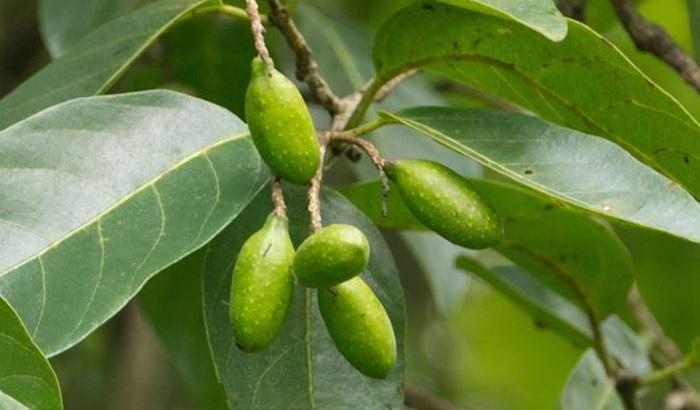 Ученые выяснили, что этаноловый экстракт дерева миробалан хебула оказывает профилактику кариеса и гингивита