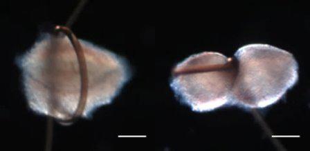 Ученым удалось разделить зародышевую клетку зуба мышей на две части