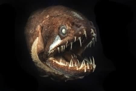 Голомянка-лира (Рыба-дракон)