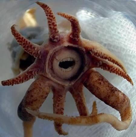 Необычный кальмар Promacthoteuthis sulcus