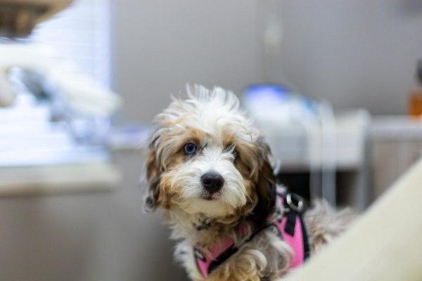 В американской клинике завели собаку для снятия симптомов тревожности у пациентов