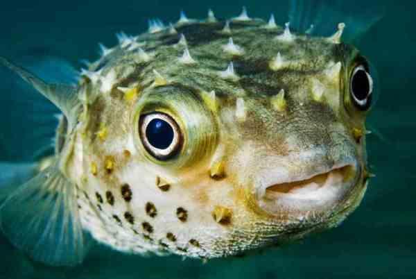 Гены, кодирующие рост новых зубов у человека, найдены у рыбы - иглобрюха (рыба Фугу)