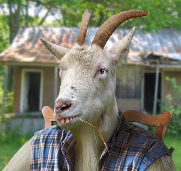 Живота картинка, картинки козел прикольное