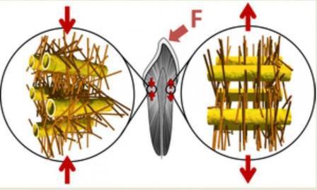 Ученые объяснили механизм, с помощью которого наноструктуры в составе дентина удерживают зубы от растрескивания