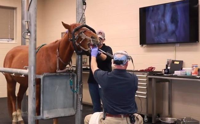 Ветеринары используют интраоральную камеру для наблюдения за состоянием зубов и десен у лошадей