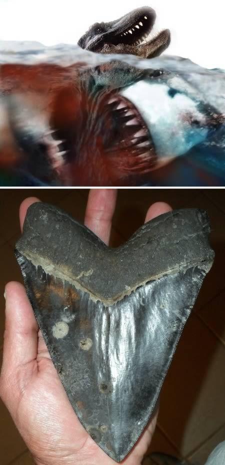 Доисторическая акула Мегалодон с зубами длиной в половину фута