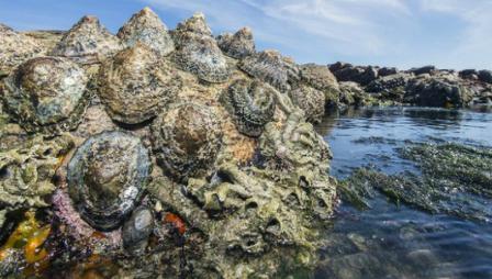 Самый прочный биологический материал обнаружен в зубах морских улиток