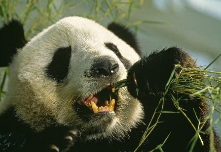 Панде из зоопарка Сан-Диего провели процедуру по реставрации зуба