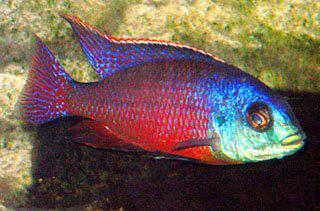 Ученые открыли механизм регенерации зубов у рыб, допустив подобную возможность и для человека