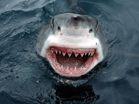 Акульи зубы так же прочны, как и человеческие