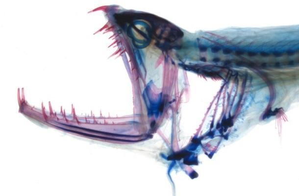 Исследовали необычную структуру прозрачных зубов рыбы-дракона