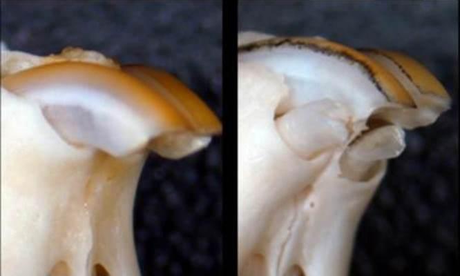 Открыли молекулярный механизм, стимулирующий рост зубов у мышей